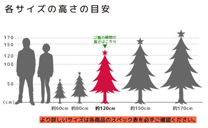 もみの木 高さの目安(120cm)