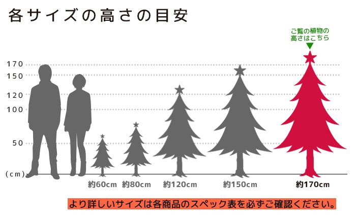 もみの木 高さの目安(150cm)