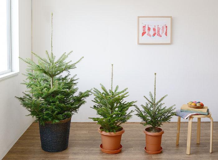 本物クリスマスツリー