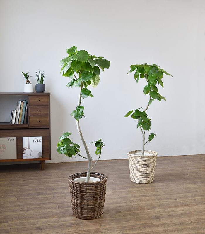 フィカス・ウンベラータ 8号鉢 曲がり樹形