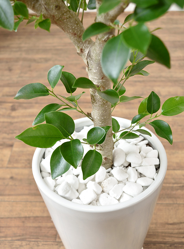観葉植物 ガジュマル ラウンド白陶器