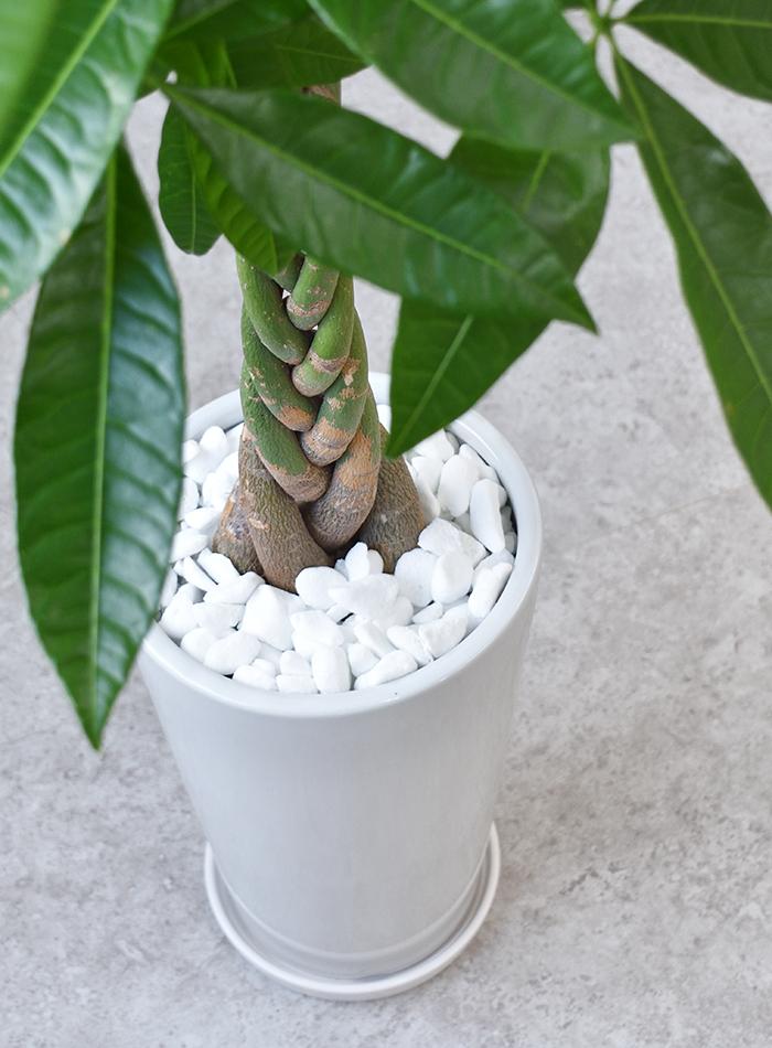 観葉植物 パキラ ラウンド白陶器