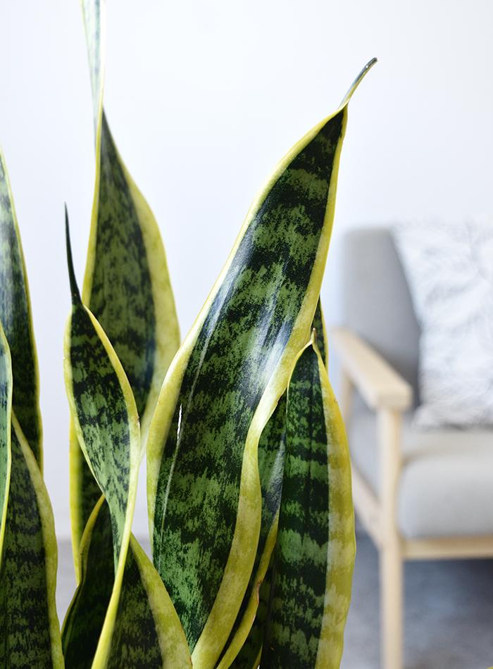 観葉植物 サンスベリア・ローレンティー ラウンド白陶器