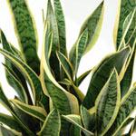 多肉質な葉