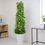 スリムに飾れる観葉植物を選ぶ