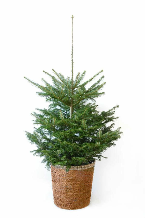 もみの木(モミの木)  120cm~ 10号鉢(屋外用)  C085001