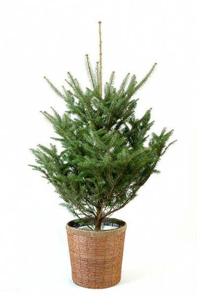 もみの木(モミの木)  150cm~ 10号鉢(屋外用) C100005