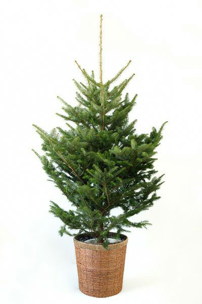 もみの木(モミの木)  170cm~ 10号鉢(屋外用) C150001