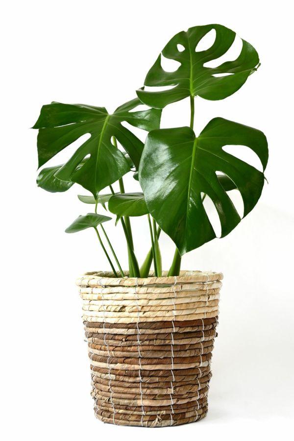 観葉植物 通販 ヒメモンステラ 6号鉢 鉢カバー付 KM039003