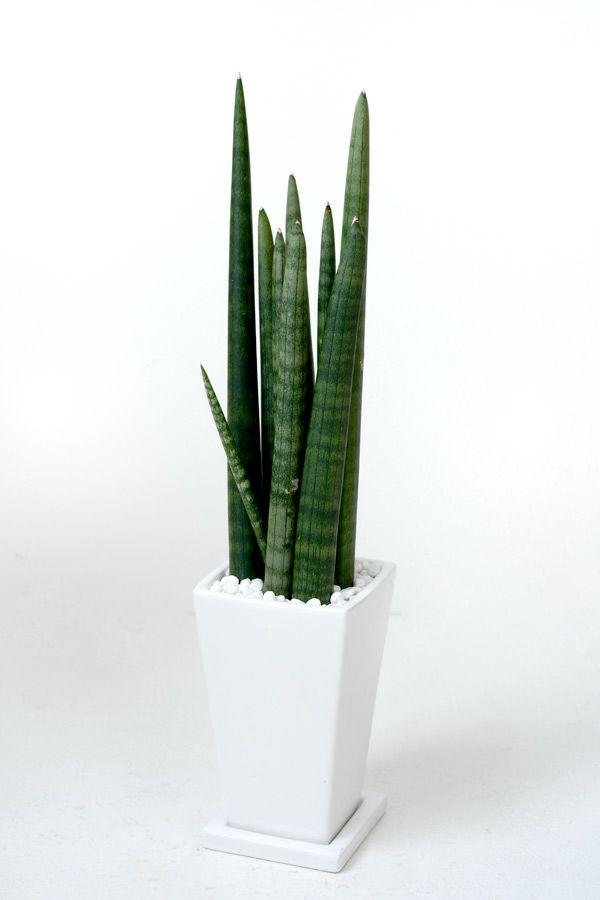 観葉植物 通販 サンセベリア・ スタッキー  スクエアホワイト陶器 MN030010