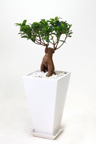 ガジュマル (多幸の木) 白スクエア陶器 MN050011