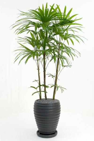シュロチク (棕櫚竹) 通販