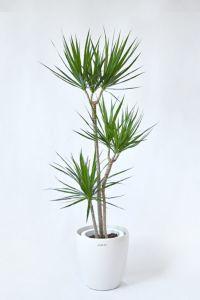 【お取り寄せ】 ドラセナ・コンシンネ 8号鉢 「真実の木」 RG060009