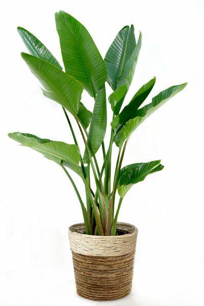 観葉植物 通販 ストレリチア(ストレチア)・ オーガスタ 10号鉢 RG120003