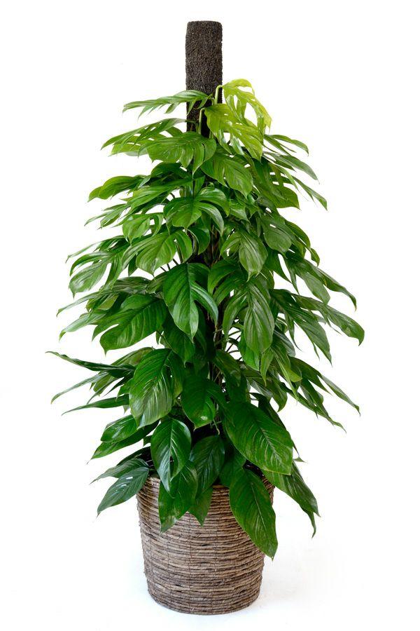 観葉植物 通販 マングーカズラ 10号鉢 RG120017