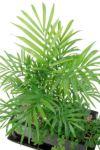 観葉植物 通販 シュガーバインと テーブルヤシの 寄せ植え YO050001