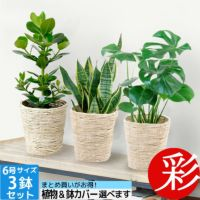 お得なまとめ買い 6号鉢植物  3点で11,000円   OT100002