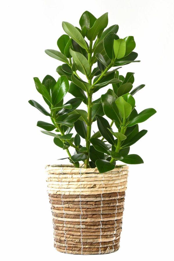 クルシア・ロゼア 6号鉢 鉢カバー付 KM039013