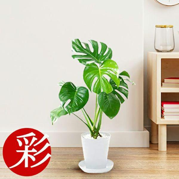 選べる6号 セラアート鉢 観葉植物 CR040000