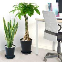 観葉植物 通販 セラアートポット 大きさ違いの植物 お得な2鉢セット♪  選べる2サイズ、まとめ買い!  8号+6号鉢植物