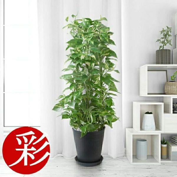 選べる8号 セラアート鉢 観葉植物 CR060000