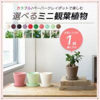 カラフル♪ ペーパークレイポットで楽しむ 選べるミニ観葉植物 1鉢 MN020001