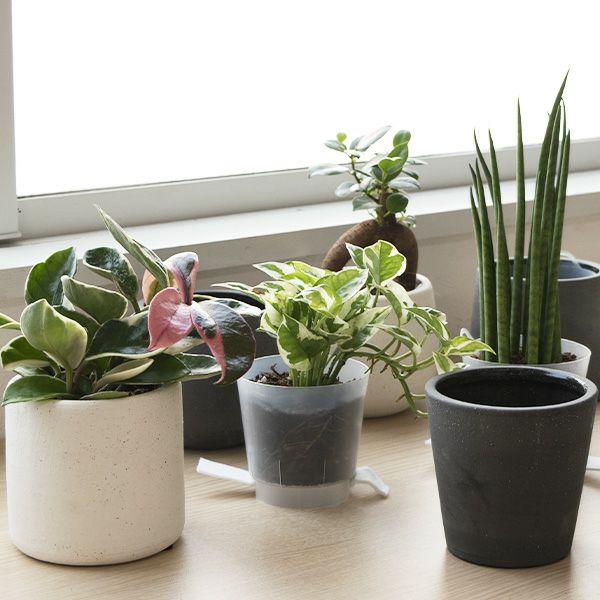 観葉植物 通販  選べる ミニ観葉植物4デザイン2カラーポット ホワイト&グレーガジュマル ポトス サンスベリアペペロミア シュガーバイン