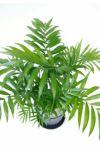 テーブルヤシ(チャメドレア) 6号 セラアート鉢 観葉植物 CR040003