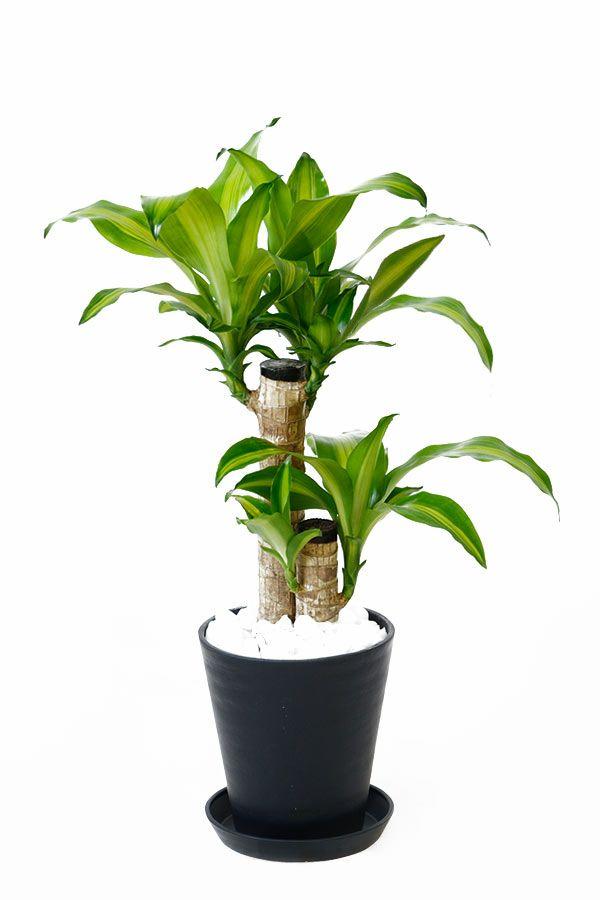 ドラセナ・マッサンゲアナ(幸福の木) 6号 セラアート鉢 観葉植物 CR040004