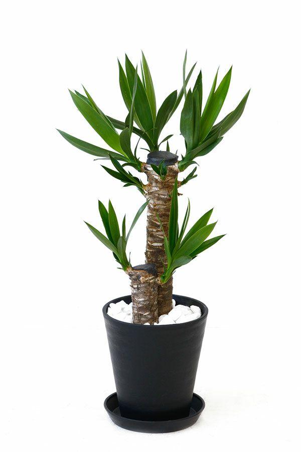 ユッカ・エレファンティペス  6号 セラアート鉢 観葉植物 CR040008
