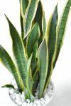 観葉植物 通販 サンセベリア・ローレンティー 8号 セラアート鉢 CR060002