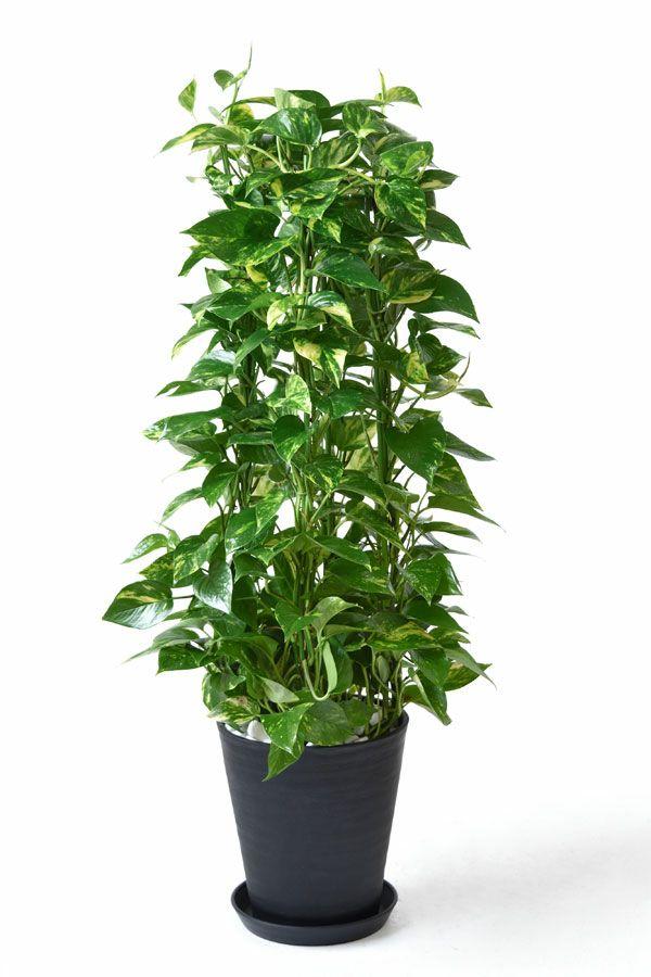 ポトス タワー仕立て 8号 セラアート鉢 観葉植物 CR060004