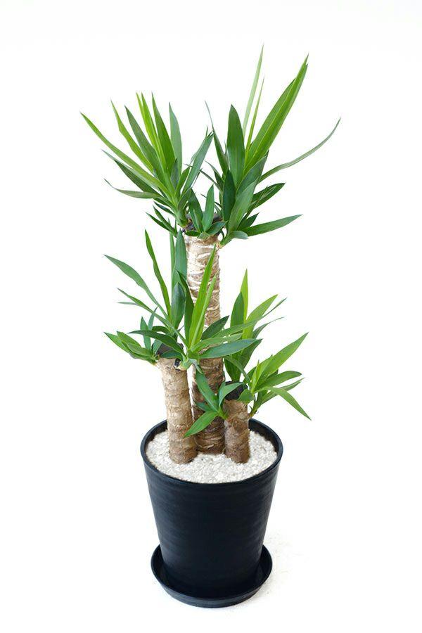 観葉植物 通販 ユッカ・エレファンティペス 8号 セラアート鉢 CR060005