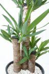 ユッカ・エレファンティペス 8号 セラアート鉢 観葉植物 CR060005