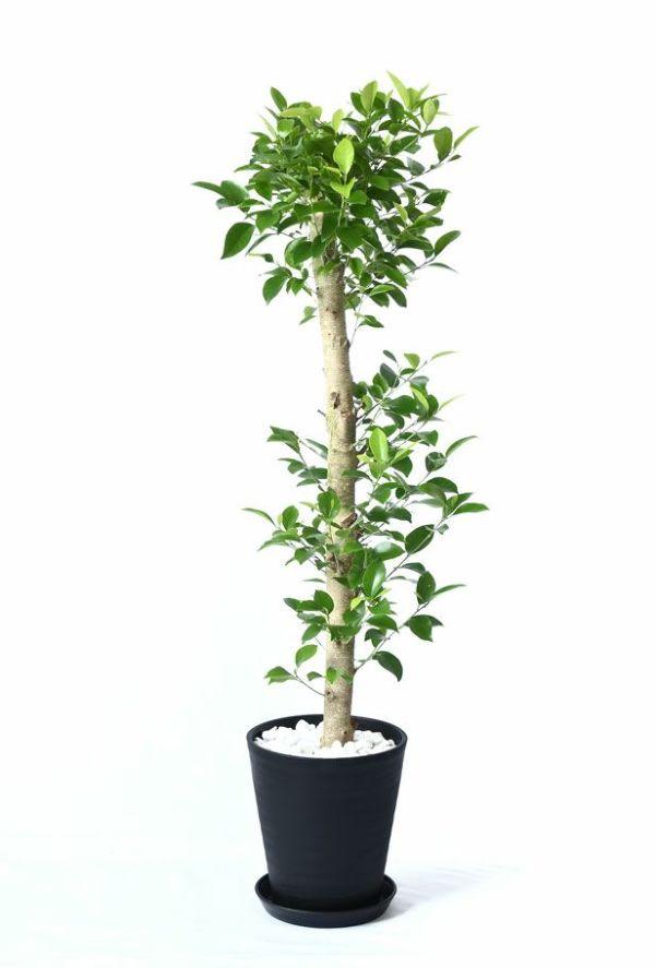 観葉植物 通販 ガジュマル(直幹) 8号 セラアート鉢 CR060007
