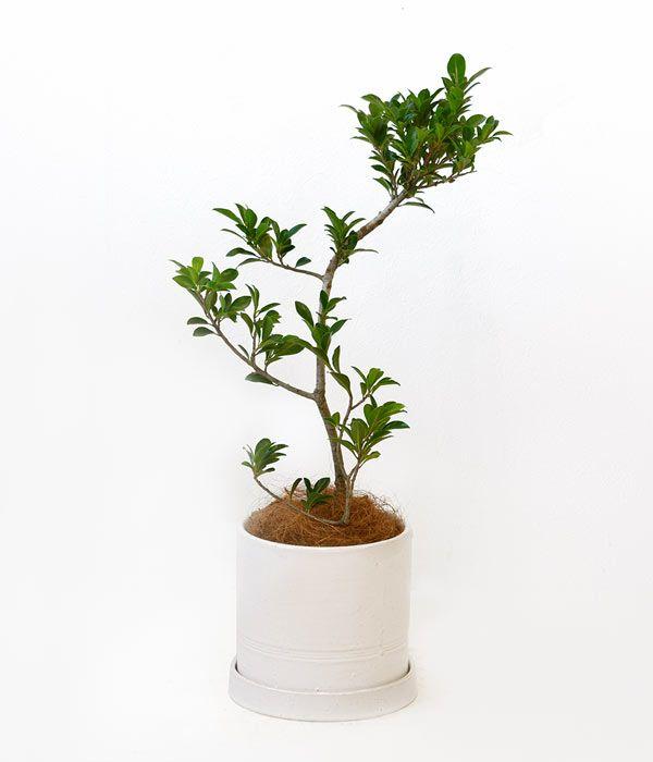 ガジュマル シリンダー・ホワイトポット 彩植健美セレクトポット おしゃれな陶器鉢