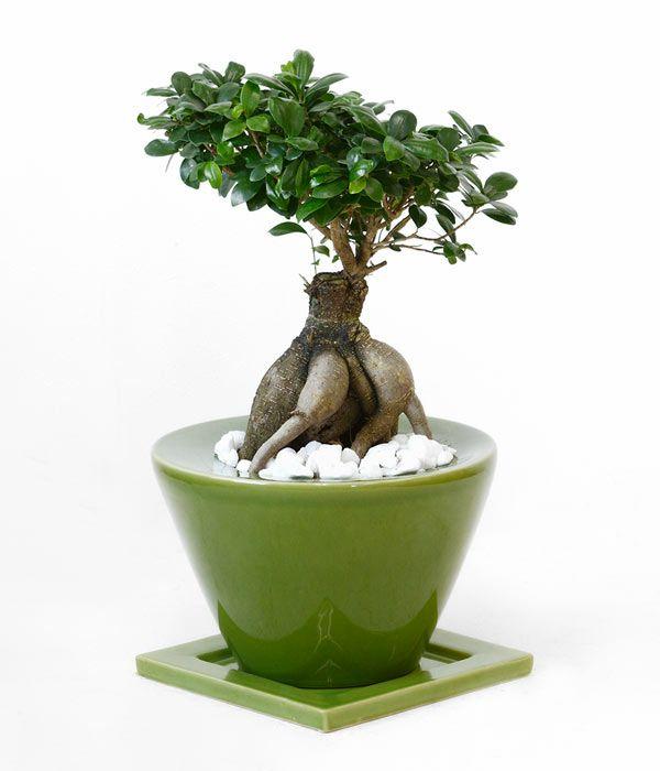 ガジュマル ボタニカル・ガーデン・ポット ~グリーン~ 彩植健美セレクトポット おしゃれな陶器鉢