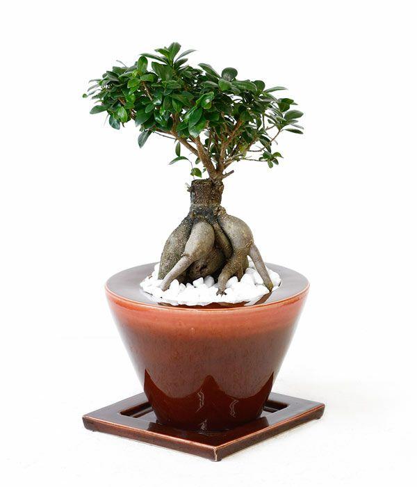 ガジュマル ボタニカル・ガーデン・ポット ~レッド~ 彩植健美セレクトポット おしゃれな陶器鉢