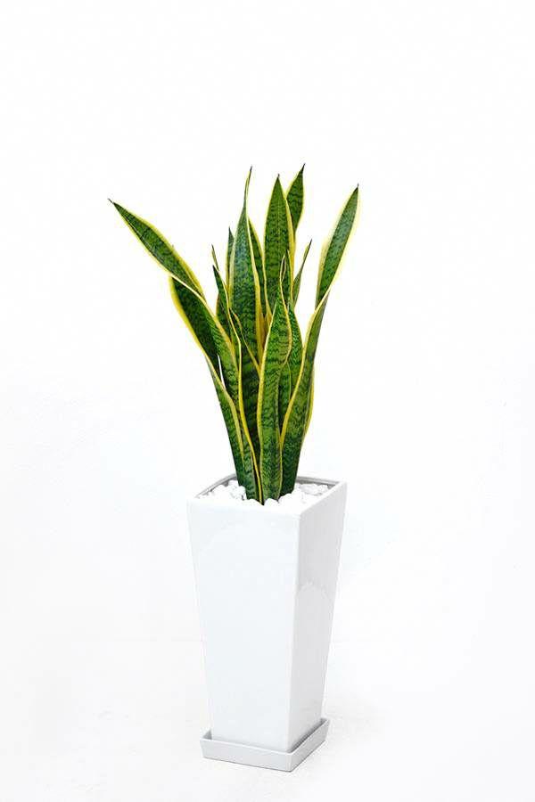 サンスベリア・ローレンティ  スクエア白陶器  ST070019