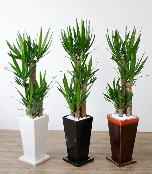 ユッカ・エレファンティペス  選べる3色・スクエア陶器  ST150025