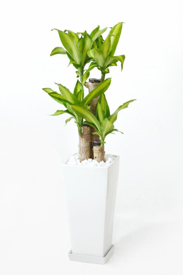 幸福の木(ドラセナ・マッサンゲアナ)  スクエア白陶器  ST100054