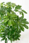 ホンコンカポック 8号 セラアート鉢 観葉植物 CR060011