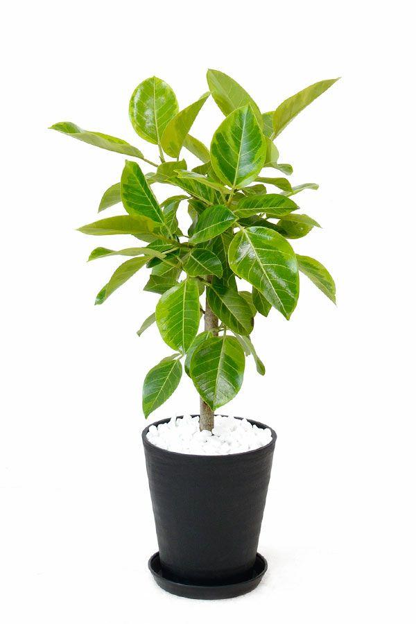 フィカス・アルテシーマ・バリエガタ (直幹)8号 セラアート鉢 観葉植物 CR060012