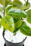 フィカス・アルテシーマ・バリエガタ 6号 セラアート鉢 観葉植物 CR040012