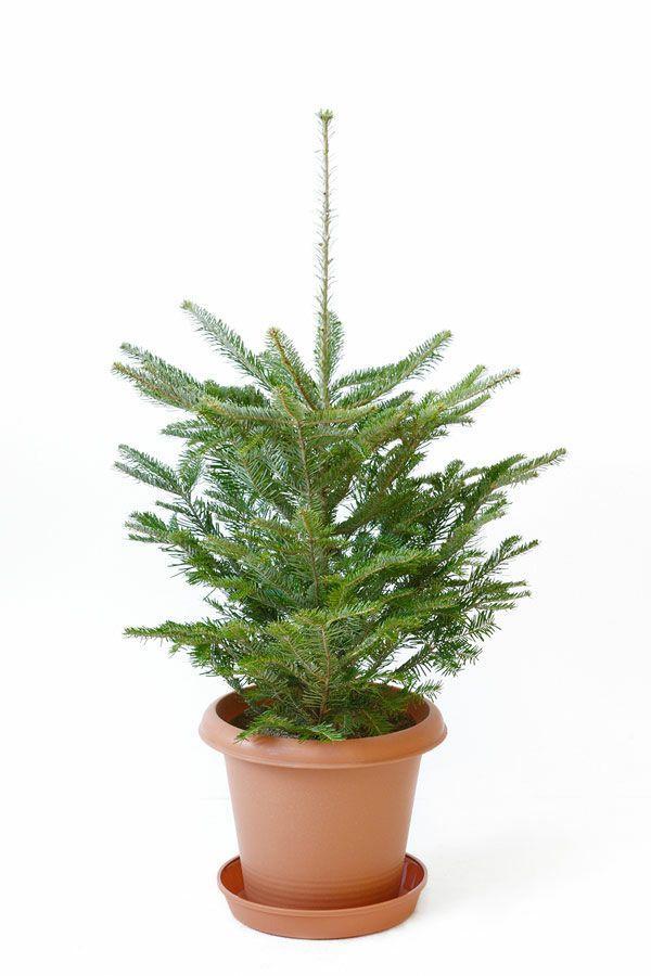 もみの木(モミの木)  80cm~ 10号輪鉢(屋外用)  C080001