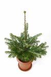 もみの木(モミの木)  60cm~ 8号鉢(屋外用)  C060001