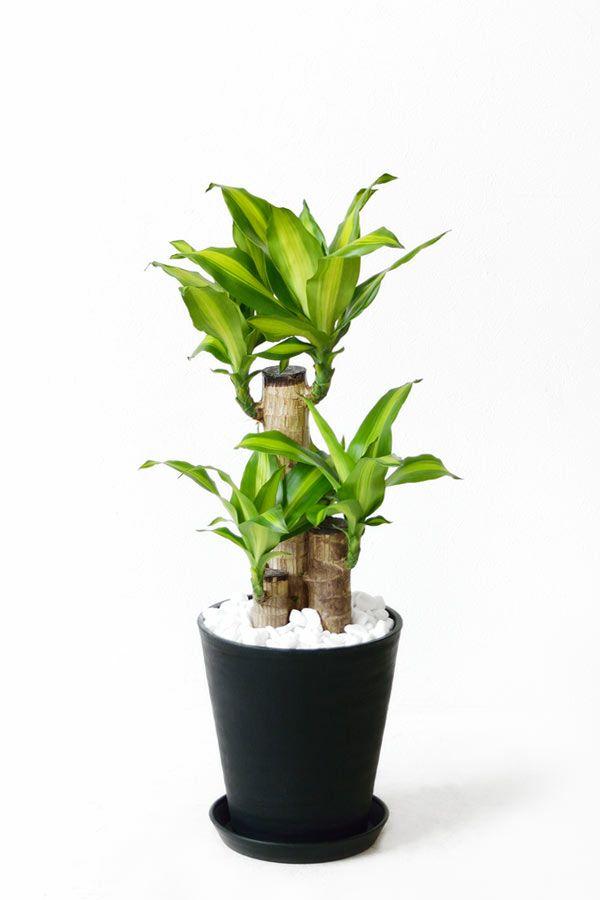 幸福の木 セラアート 8号鉢(レギュラーサイズ) 観葉植物 CR060013