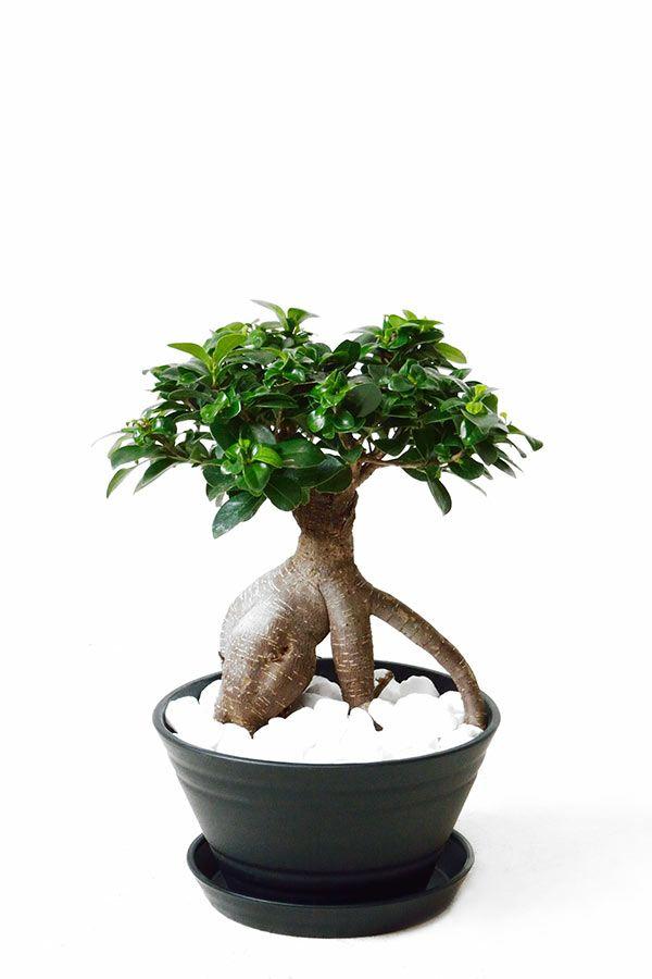 ガジュマル 平鉢 セラアート鉢 観葉植物 CR050001