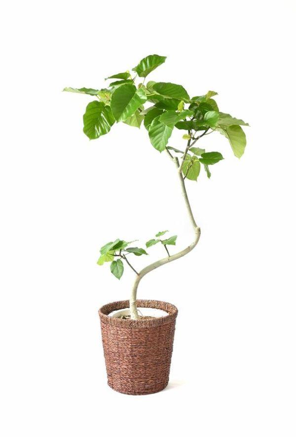 観葉植物 通販 フィカス・ウンベラータ (曲がり樹形) 8号鉢 RG080010m