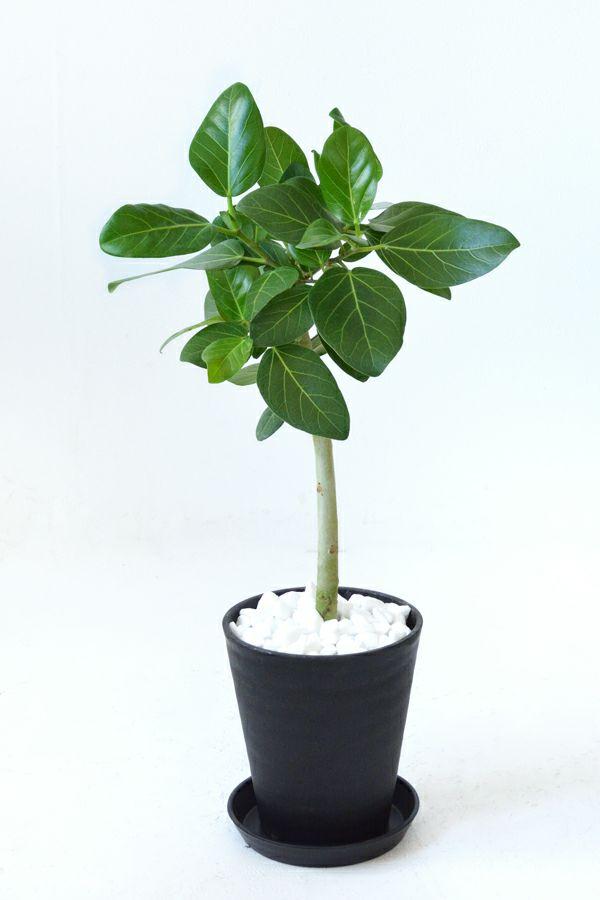 ベンガルボダイジュ 6号セラアート鉢観葉植物CR040013
